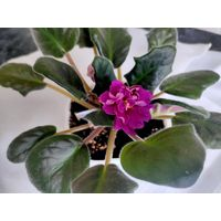 Фиалка ЕК-Шахиня (взрослое растение)