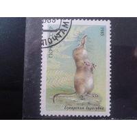 1985 Бухарская бурозубка