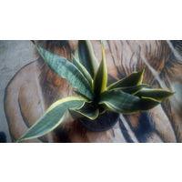Щучий хвост (комнатный декоративный цветок)