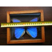 Гигантская тропическая бабочка в коллекцию.Фото не может передать красоту.