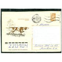 Охотничья собака. Пойнтер. 1978