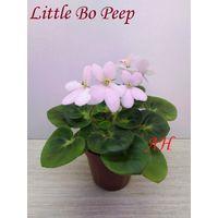 Фиалка полумини Little Bo Peep  - розетка (фото в лоте)