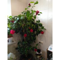 Китайская роза. Гибискус. Росточек.