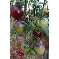 Семена томата Pascal de Picardie (Паскаль из Пикардии)