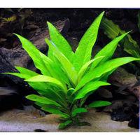 Аквариумные растения Номафила Каримбоза