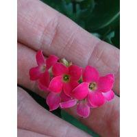 Каланхоэ каландива розового окраса