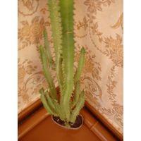 Кактус взрослое растение