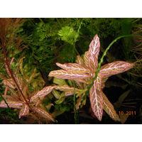 Аквариумные растения Гигрофила Розанервиг