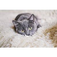 Серебряная кошка ищет дом!