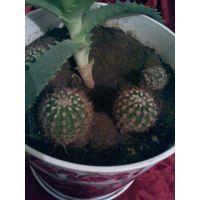 Кактусы и кактусики