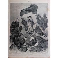 ГРАВЮРА  ОРЛЫ  СПБ    19 век. 30.5х24 см.