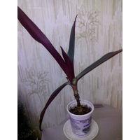 Рео (Rhoeo) семейство Коммелиновые (Commelinaceae) - комнатные цветы, растения